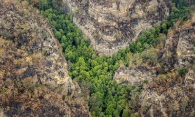 Australia Firefighters Save the Only Wild Prehistoric Wollemi Pines on Earth 87