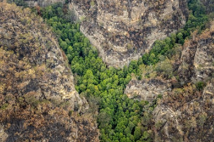 Australia Firefighters Save the Only Wild Prehistoric Wollemi Pines on Earth 1