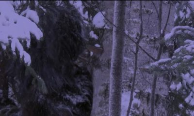 Bigfoot filmed in Canadian National Park 87