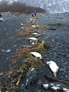 Worst marine heatwave on record killed one million seabirds in North Pacific Ocean 87