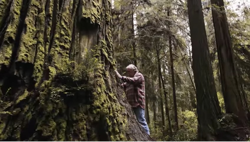 Conservationist Plants Super Grove Of Ancient Redwood Trees Cloned From Ancient Stumps 1