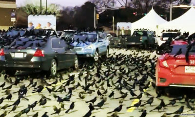 Migration or sign of impending doom: black birds invasion in Texas worries people 98