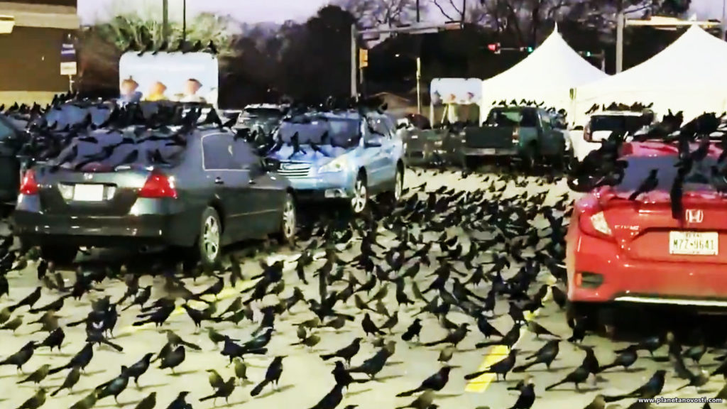 Migration or sign of impending doom: black birds invasion in Texas worries people 25