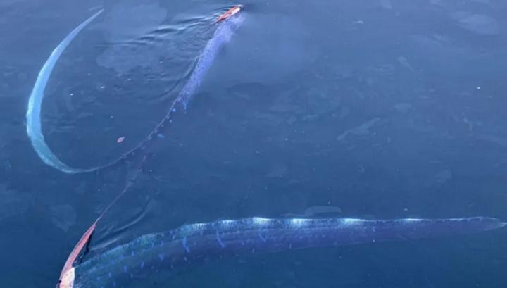 A pair of huge herring kings were filmed in a Japanese port 26