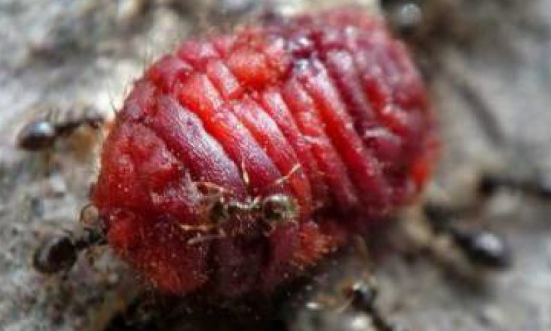 Coca-Cola's Mysterious Ingredient - Cochineal Insect Liquid 2