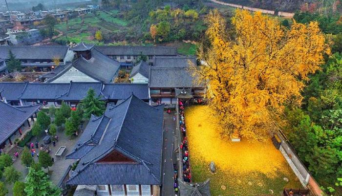 """1,400-year-old tree in China turned """"golden"""" 1"""