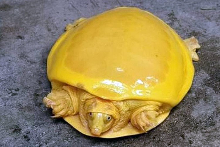 Yellow turtles are almost albino