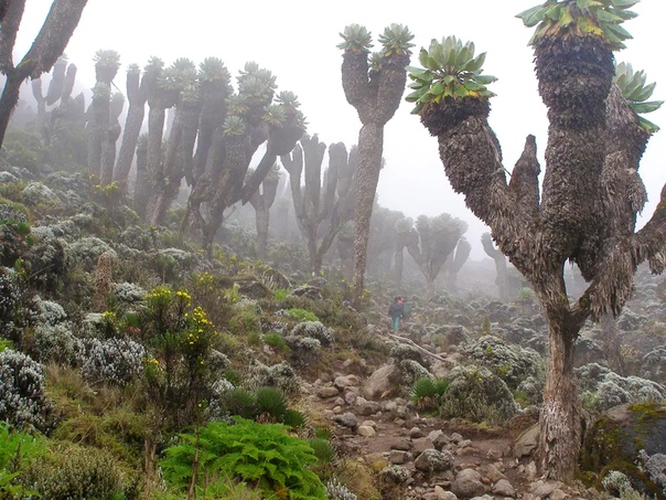 A prehistoric forest that grew on earth a million years ago was found on the slope of Kilimanjaro 108