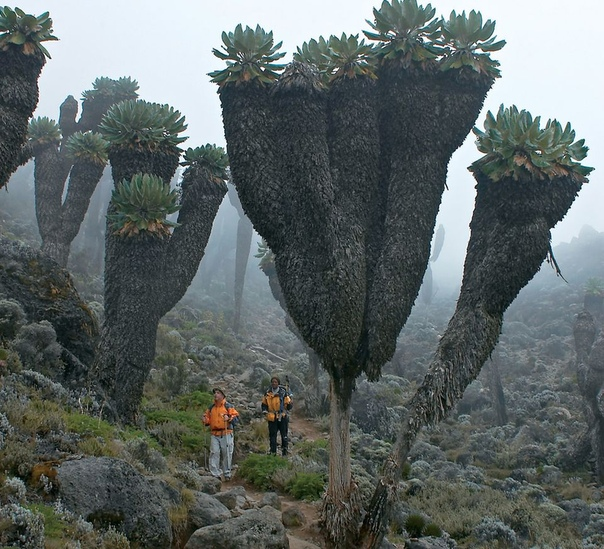 A prehistoric forest that grew on earth a million years ago was found on the slope of Kilimanjaro 111