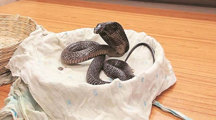 The bite of a king cobra is fatal in most cases / Photo: indianexpress.com