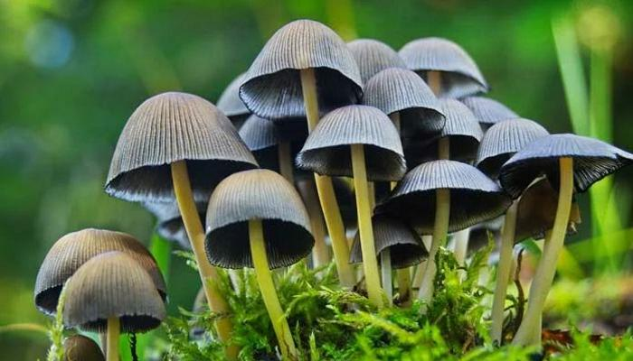 Psilocybin mushrooms sprout in the blood of an 'experimental' patient 95