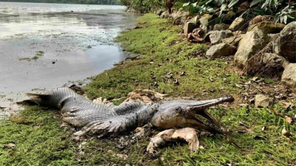 "Mystery in Singapore: Huge alligator-sized ""prehistoric"" fish found dead on the beach 36"