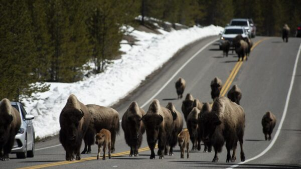 The time for migration has not yet come, but the buffalo have begun to actively leave Yellowstone 26
