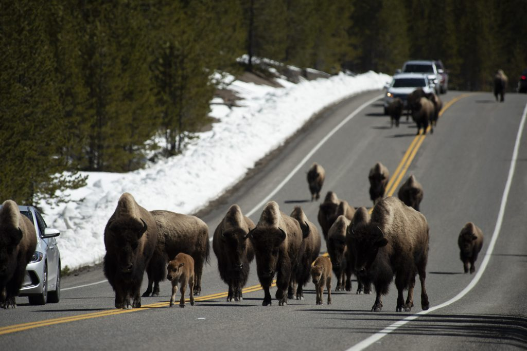 The time for migration has not yet come, but the buffalo have begun to actively leave Yellowstone 1