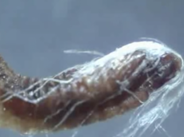 Analysis result: Are these Masked Boogers Living foreign organisms, morgellons? 2