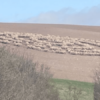 No crop circles and UFO tracks? Hundreds of sheep for no apparent reason walked in circles in a British field 9