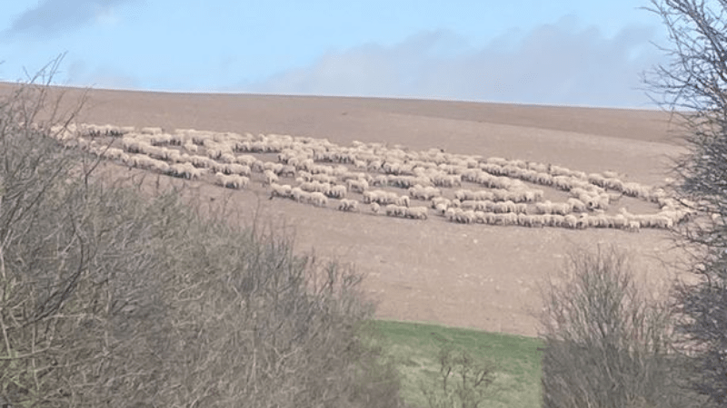 No crop circles and UFO tracks? Hundreds of sheep for no apparent reason walked in circles in a British field 1