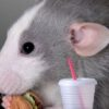 An experiment with mice: The body can react to fast food as a dangerous infection 5