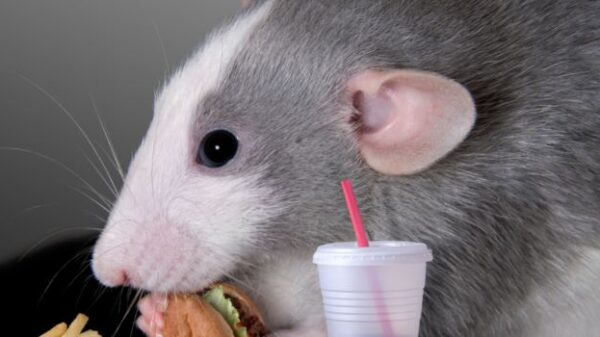 An experiment with mice: The body can react to fast food as a dangerous infection 26