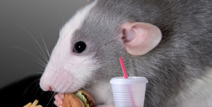 An experiment with mice: The body can react to fast food as a dangerous infection 1